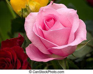 Close-up view of a Pink Hybrid T Rose