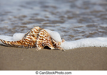 Close up view of a single Conch Shell on the Beach