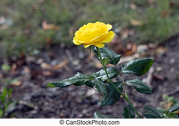 Close-up view of a yellow Hybrid T Rose flowering in late summer