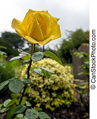 Close-up view of a yellow Hybrid T Rose flowering in summertime