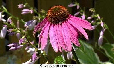 Close-up, detailed view of an Echinacea Purpurea flower, purple coneflower in light wind.