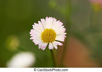Close-up view of beautiful daisy flower