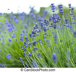 Close up view of beautiful lavender flowers. Selective focus.
