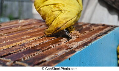 Close up view of beekeeper remove beeswax from honeycomb with brood nests and bees on it