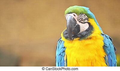 Close up view of Blue and Yellow Macaw.. High quality FullHD footage