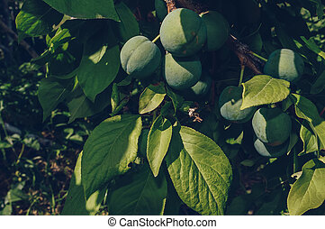 branch with green growing apricot fruits