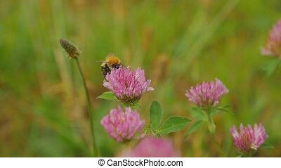 Close up view of bumble-bee on red clover flower