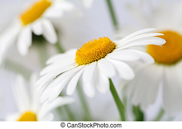 Close up view of camomile