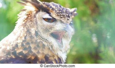 Close-up view of Cape Eagle Owl.