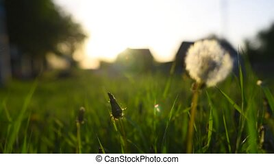 Close-up view of dandelion flower at sunset. - Close-up view...