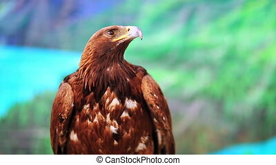 Close-up view of eagle, mongolia