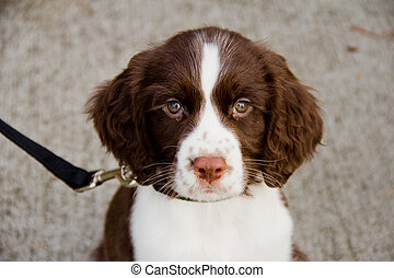 Close Up View of English Springer Spaniel Puppy