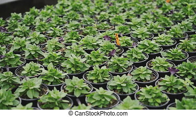Close-up view of flower seedlings in pots in the greenhouse....