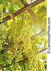 Close up view of fresh bunch of white grapes on field