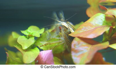 Close-up view of Freshwater Bamboo Shrimp. Atyopsis moluccensis.