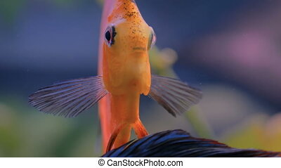 Close up view of golden angelfish, underwater life - Close...