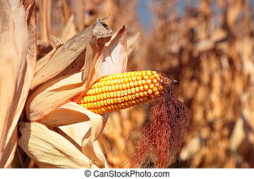 close up view of golden ripe corn plant