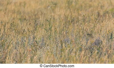 Close up view of grass waving in wind in field. There are...