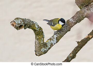 Close up view of great tit (Parus major)