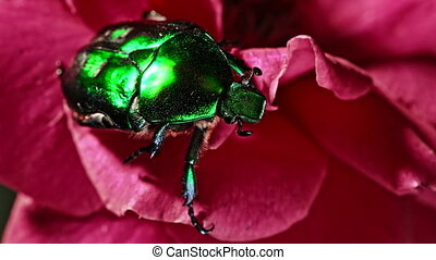 Close-up view of Green Rose chafer - Cetonia Aurata beetle on red rose. Amazing bug is among petals. Macro shot. Slow motion. Insect, nature concept.