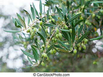 Close-up view of green unripe olives on tree.