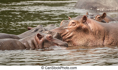Hippos in Nile River - Close up view of Hippos in Nile River