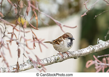 Close up view of house sparrow