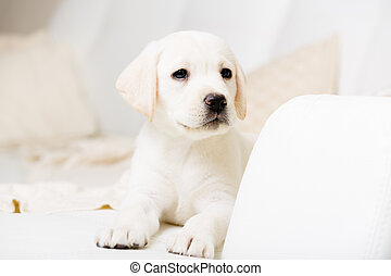 Close up view of Labrador puppy lying on the sofa