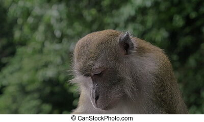 Close up view of Macaque at Batu Caves on blurred green...