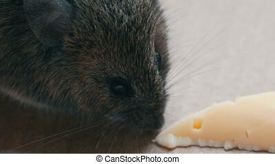 Close up view of muzzle house gray mouse eating piece of...