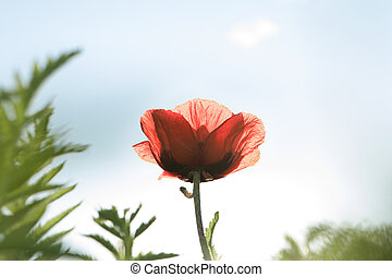 close up view of nice red poppy on blue sky background