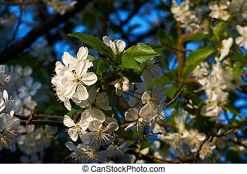 Close-up view of pink and white apple tree flowers in the evening with sunshine and blue sky.