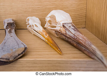 Close up view of several skeleton heads of birds.