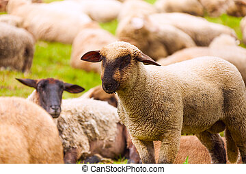 Close-up view of sheep who pasture in the field