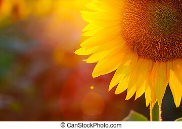 sunflower - close up view of sunflower flowers at the...