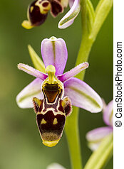 Close up view of the beautiful Bee Orchid (Ophrys apifera) flower.