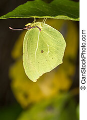 Gonepteryx cleopatra butterfly insect - Close up view of the...