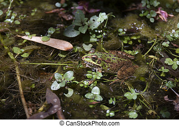 Close up view of the Edible Frog (Pelophylax esculentus) on a puddle.