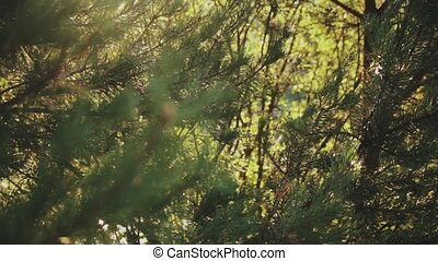 Close-up view of the fir-tree branch with needles in the forest. Beautiful nature landscape in sunny day.