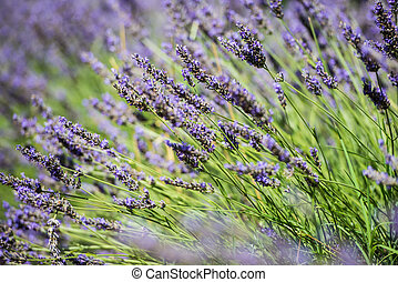 Close up view of the fresh violet lavender blossoms