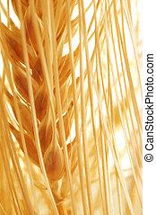 golden grain ears