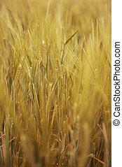 close up view of the golden grain