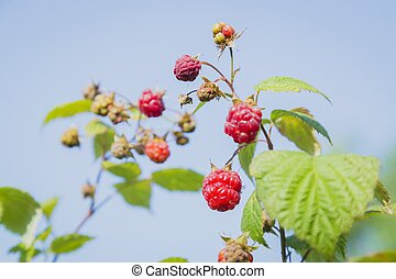 close-up view of the raspberry