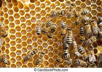 bees on honeycells - Close up view of the working bees on ...