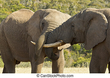 Close up view of two elephants wrestling