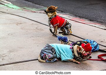 Close up view of two small cute dogs in costumes lying on asphalt. Las Vegas. Nice nature background.