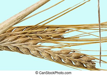 Close up view of wheat ears isolated on blue background. Agriculture. Organic. Food.