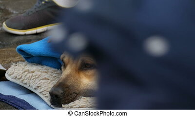 Close up view of white dog of homeless person, covered with...