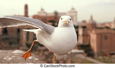 Close-up view of white seagull sitting on the roof. Little bird raises one paw and a wing. Old city on the background.