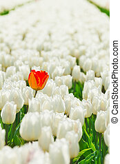 Close-up view of white tulips and orange one